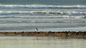 SX00676 Red beaked birdy on beach [Oystercatcher - Haematopus Ostralegus].jpg